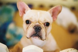 A​ cute​ cream​ colored​ French​ Bulldog.