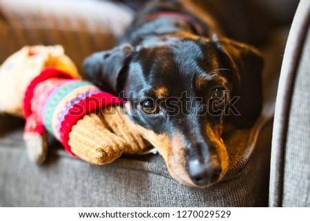 A cute dachshund being playful. #1270029529