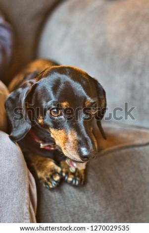 A cute dachshund being playful. #1270029535