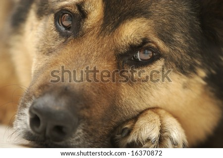 A cute dog gives the puppy-dog eyes to his master.