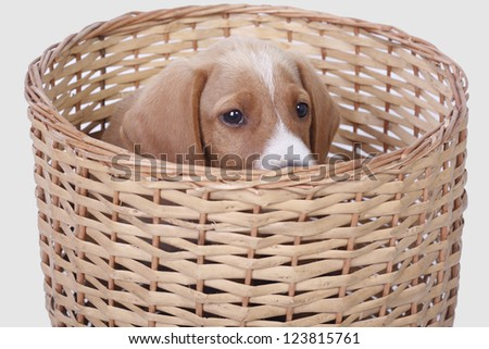 A cute eight week old Daschound puppy peeps over the side of his wicker basket.