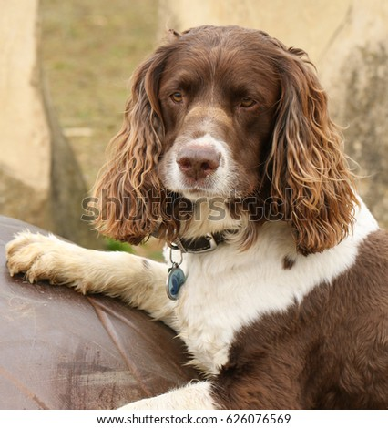 A cute English Springer Spaniel Dog (Canis lupus familiaris) playing on a on a giant metal egg, with a funny expression on his face. #626076569