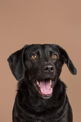 A cute enthusiastic focused black domestic dog with brown eyes looking up and slightly off camera with his mouth open showing his teeth and tongue on a light brown beige background studio shot