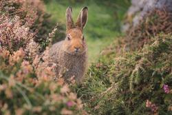A cute European Rabbit (Oryctolagus cuniculus) on high alert on the Dingle Peninsula in Ireland.