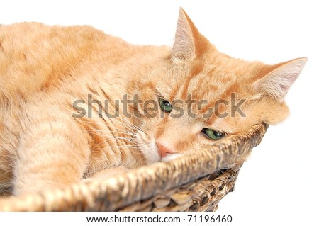 A Cute, Fat Orange Tabby Cat Resting in a Wicker Basket Isolated