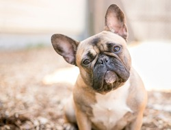A cute fawn colored French Bulldog