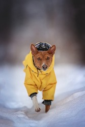 A cute female Basenji in a yellow jumpsuit running through a deep snowdrift against the backdrop of a fabulous winter forest. Looking into the camera
