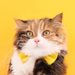 A cute female cat with a yellow bow tie, front view portrait of a cat on yellow background