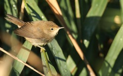A cute fledgling Reed Warbler (Acrocephalus scirpaceus) perching on a reed in the reed bed. It is waiting for its parents to come back and feed it.