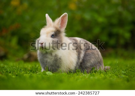 A cute fluffy gray and white rabbit on green grass outdoors
