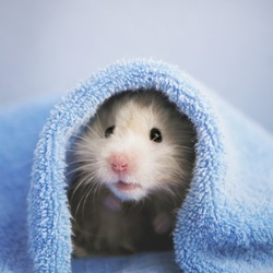 A cute fluffy hamster looks out from under the towel on a blue background. Bathing a hamster. Wet hair. Funny animals.