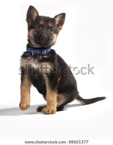A cute german shepherd puppy. Isolated on white