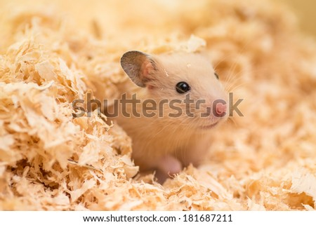 A cute golden hamster covered with wood chips