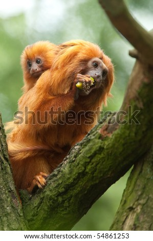 A cute golden lion tamarin mother and baby (Leontopithecus rosalia)