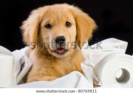 a cute golden retriever puppy laying on a bed of soft toilet paper.