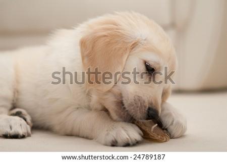 golden retriever puppy cute. stock photo : A cute golden