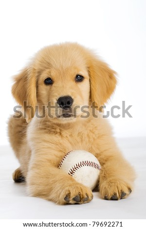 a cute Golden Retriever Puppy with a baseball. #79692271