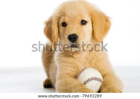 a cute Golden Retriever Puppy with a baseball.