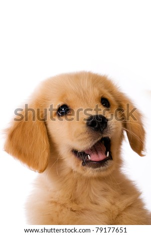 a cute Golden Retriever Puppy with an happy expression on his face.