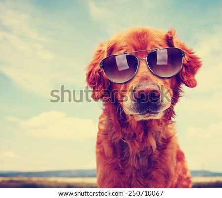 a cute golden retriever toned with a retro vintage instagram filter with sunglasses on