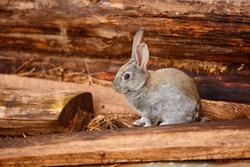A cute gray rabbit sits near a log wall
