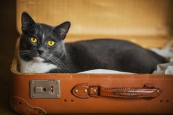 A cute grey domestic yellow-eyed cat is lying in a comfortable old brown suitcase and preparing for the trip.
