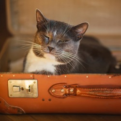 A cute grey house cat with a contented face is sitting in an old battered orange suitcase, because it is comfortable in it. Journey.