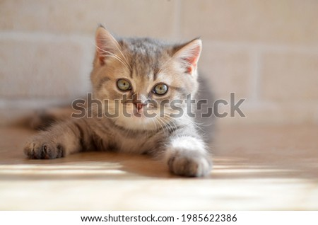 A cute grey tabby British kitten lies on a light background and looks at the camera. Close-up, blurry background, high key. Stock photo ©