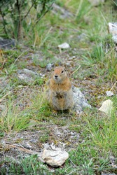 A cute ground squirrel in Denali State park in Alaska is begging to be fed and being a pest.