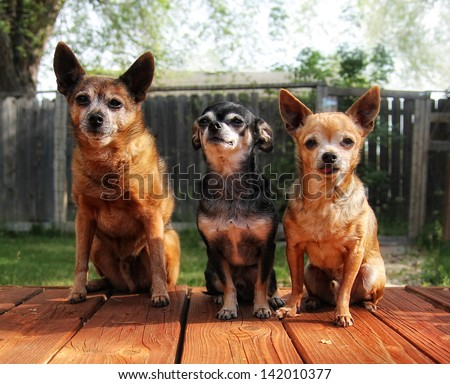 a cute group of chihuahuas