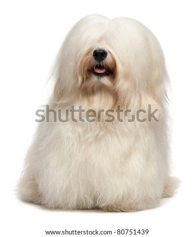 A cute happy sitting cream havanese male dog with long hair, isolated on white background