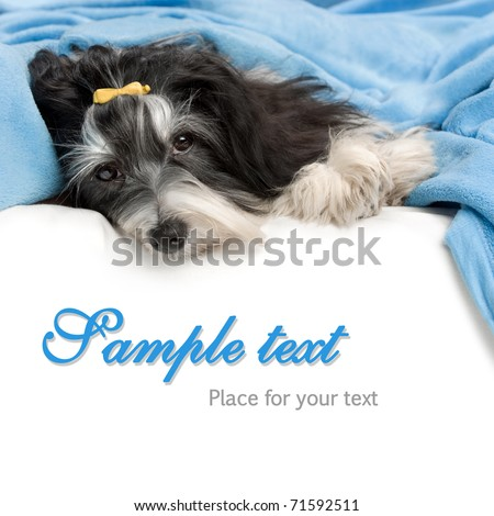 A cute havanese dog is lying in bed and facing to camera isolated on white background