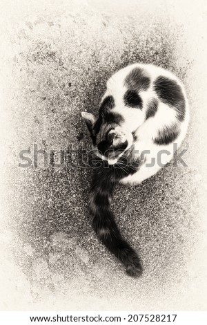 A cute hybrid cat grooming itself on a rock. Black and white fine art outdoors portrait of domestic cat.