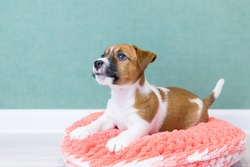 A cute Jack Russell Terrier puppy lies on a pink knitted plush donut on a green background. Pet care concept, love for animals. Pedigree dogs, breeding. Day of dogs, day of pets. Dog bed.