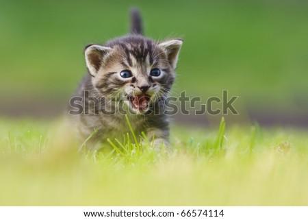 a cute kitten walks on a meadow, she is meowing
