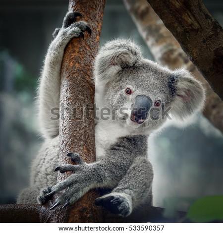 A cute  koala. #533590357