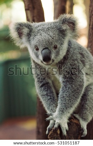 A cute Koala bear walking a branch at the park