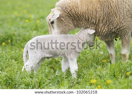 A cute lamb and it's mother loving each other in a grassy field, taken in rural Australia.