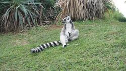 A cute lemur poses for a photo