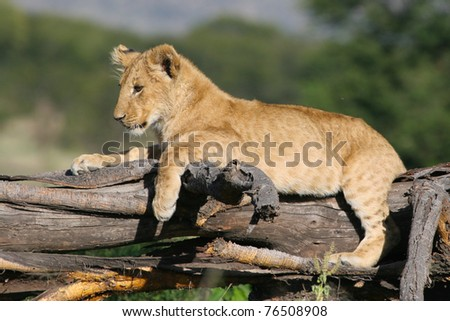 A cute lion cub lying on a tree stump - stock photo