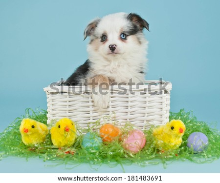 A cute little Australian Shepherd puppy sitting in an Easter basket with Easter eggs and baby chicks around her. - stock photo