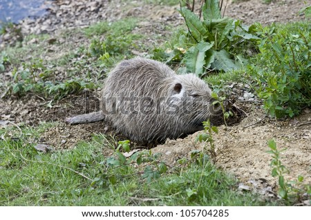 A cute, little beaver digging around in the dirt.