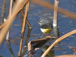 A cute little bird with a yellow butt that came to the waterside