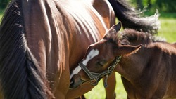 A cute little brown thoroughbred foal in bridle snuggles up to horses mother in rays of the evening summer sun on a green meadow. Close-up of the head of a small horse foal. Beautiful natural banner
