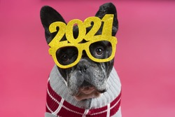 A cute little bulldog wearing a 2021 glasses