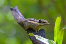 A cute little Burmese/Himalayan Striped Squirrel (Tamiops mcclellandii) on the end of a branch.