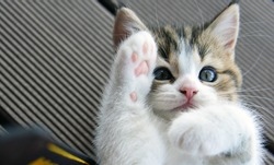 A cute little cat showing its paws.