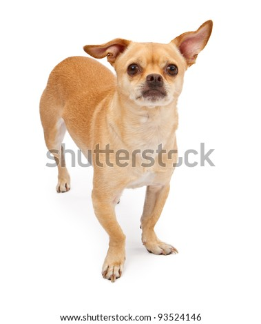 A cute little Chihuahua and Pug Mixed breed dog standing against a white backdrop