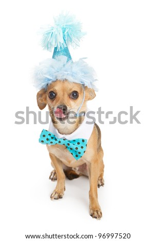 A cute little Chihuahua dog wearing a blue birthday party hat and a polka dot bow tie with his tongue sticking out