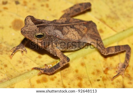 A cute little Dead-leaf Mimic Toad in the Peruvian Amazon